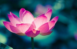 lotus flower meaning in buddhism