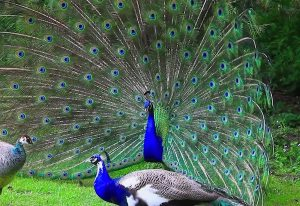 meaning of the peacock